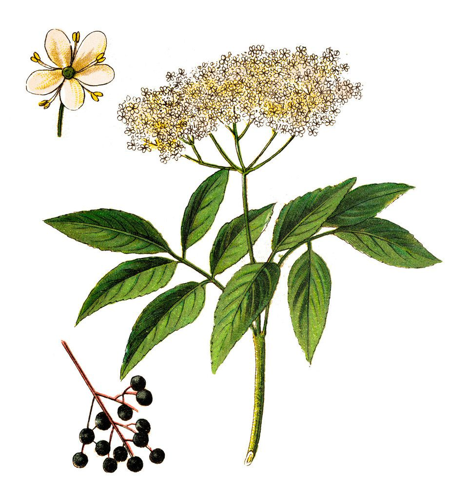 The white elderflowers of the elderberry plant can be used to make a syrup that brings fruity and floral notes to your recipes.
