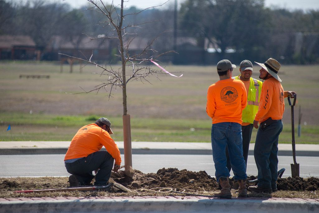 Contract workers fill in extra space around a newly planted tree in Denton.
