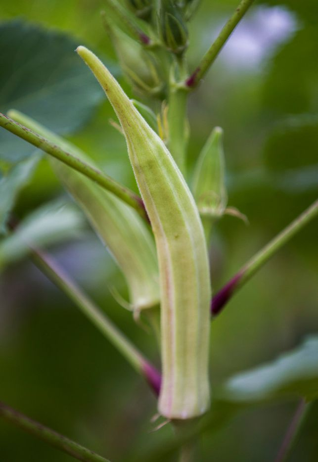 Milsap White okra grows at the new Tasteful Place edible garden