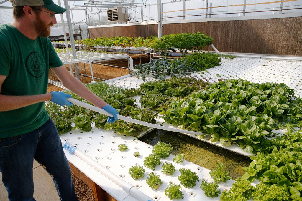 Profound Microfarms owner Jeff Bednar harvests lettuce  inside the hydroponics greenhouse.