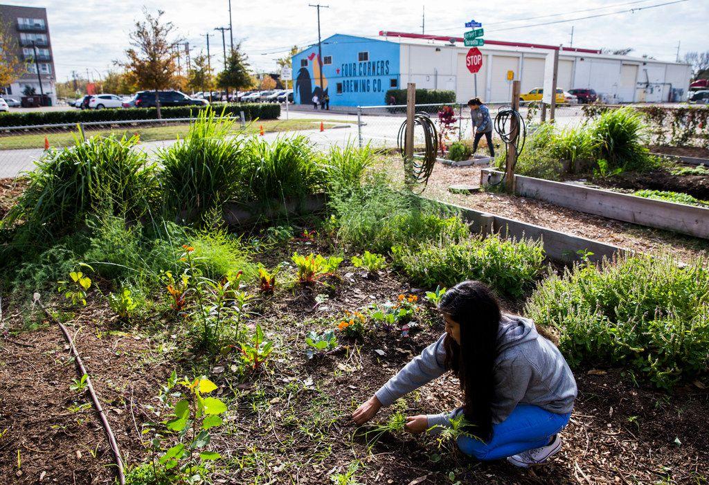 Intern Yakelin Gonzalez, 14, pulls weeds from an area of the garden at La Bajada Urban Youth Farm.