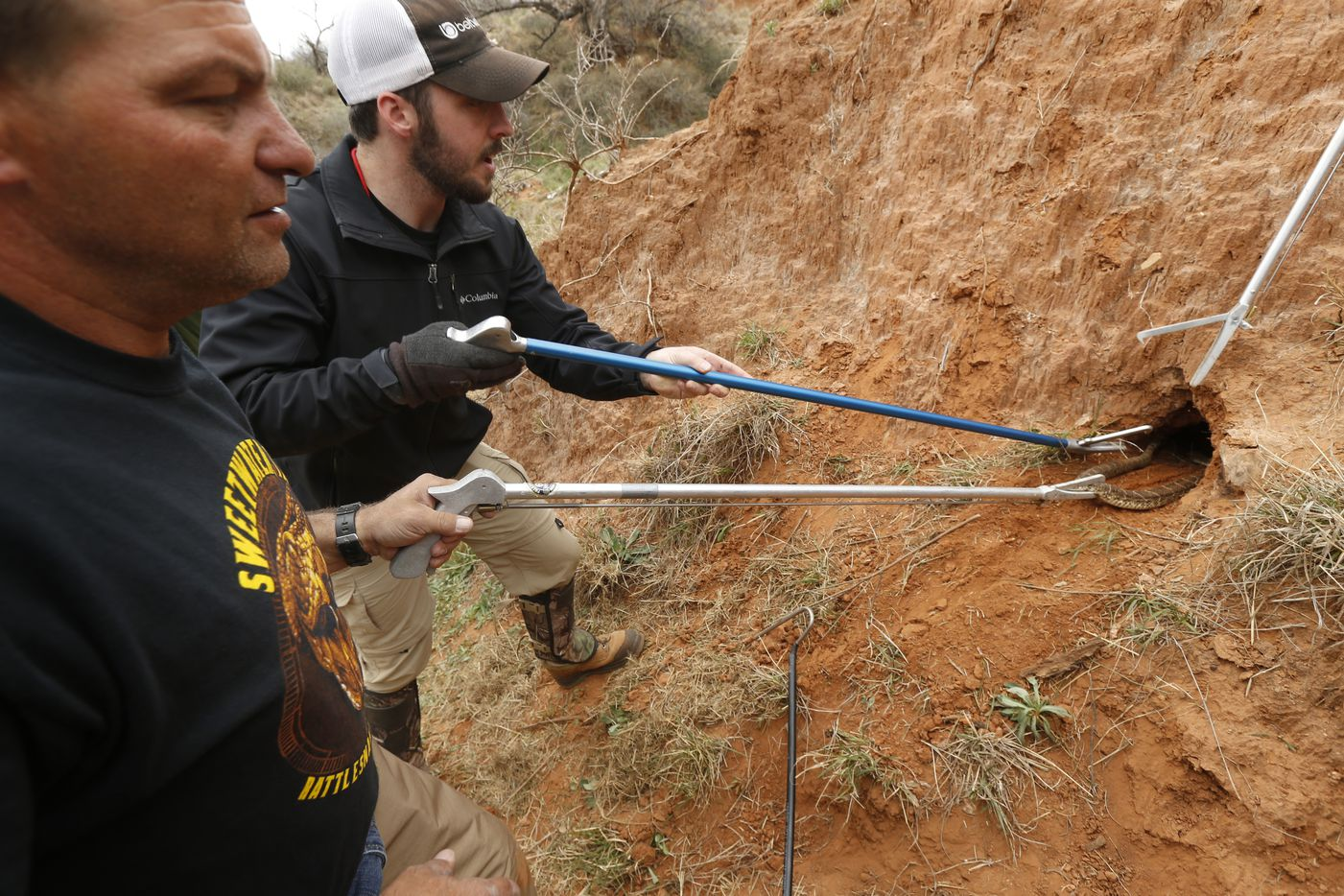 David Salmon of  Heber Springs, Ark., (left) and Brett Stewart from Abilene pull a western diamondback rattlesnake from its den during a guided hunt during the Sweetwater Rattlesnake Roundup on March 10.