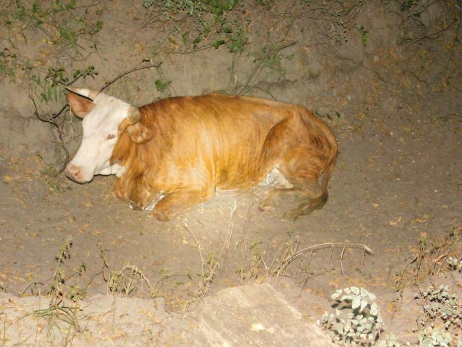 The starving cows were taken to a nearby veterinary clinic after their rescue.