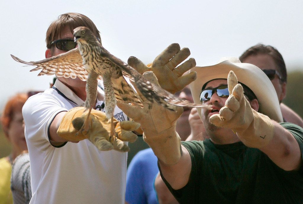Blackland Prairie Raptor Center executive director Erich Neupert (left) and cabdriver William Bruso of Houston release Harvey, a juvenile Cooper's hawk that darted into Bruso's cab during Hurricane Harvey, to the wild at Oak Point Park Nature Preserve in Plano. (Tom Fox/Staff Photographer)