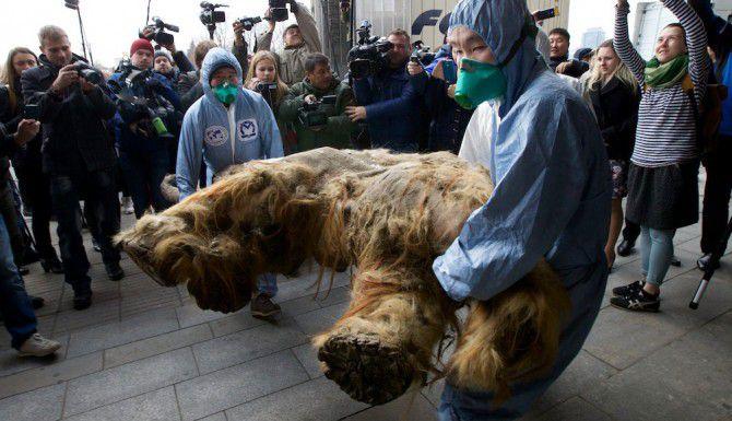 Científicos cargan el cuerpo de mamut descubierto en Rusia. El animal falleció hace unos 39,000 años. (AP/IVAN SEKRETAREV)