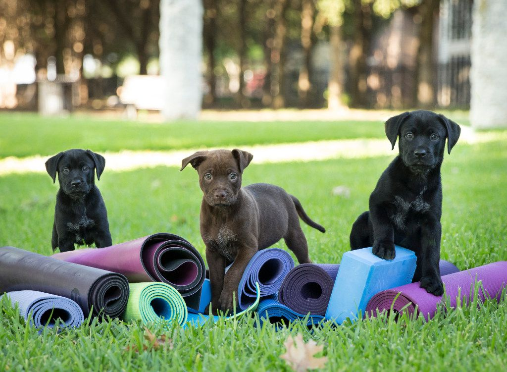 Puppy yoga is coming to Dallas on April 14, courtesy of Friends of the Northaven Trail.