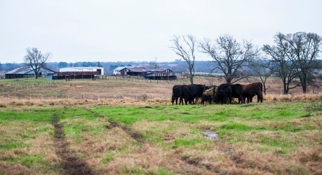Cows feed on hay at John Stoneham's ranch on Wednesday, January 18, 2017 in Grimes County. The roughly 1,000-acre ranch, which has been owned and operated by the Stoneham family for nearly 150 years, is in the proposed path of a high speed rail line. If the rail is built, Stoneham could lose about 50 acres of land in the middle of his property, limiting his access to grazing pastures. (Ashley Landis/The Dallas Morning News)