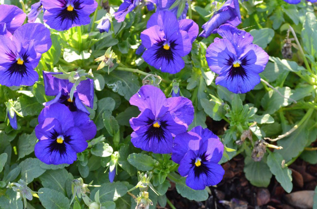 The pansy 'Nature Ocean' from the Nature series has performed well historically in the Dallas Arboretum's trial gardens.