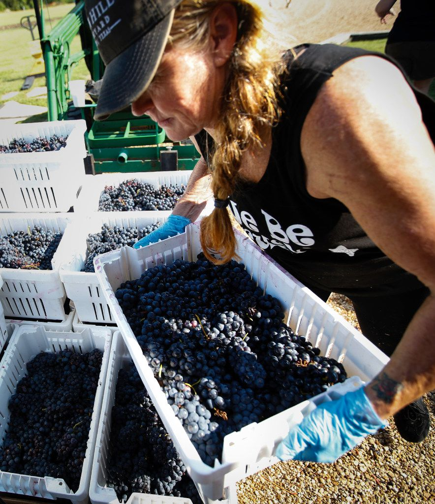 Chari Richter grabs a crate of grapes to load onto the sorting table at the Eden Hill Vineyards in Celina.