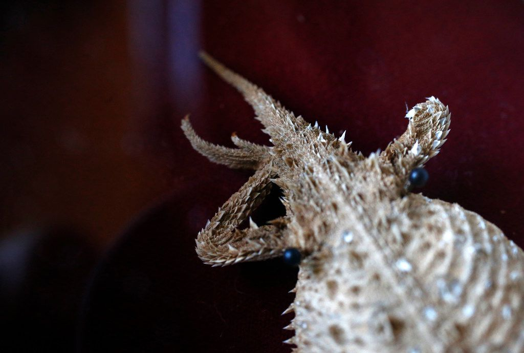 Old Rip, the legendary embalmed horned lizard who's missing a hind leg, is a celebrity in Eastland, Texas.