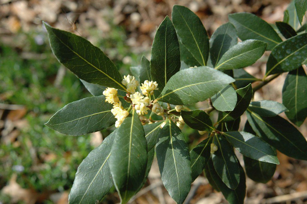 Laurus nobilis, known as bay, laurel bay or sweet bay, is easy to grow as a culinary/medicinal herb and a good landscape plant.