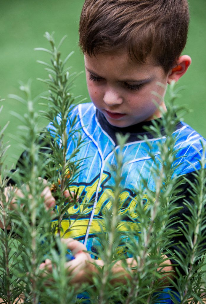 James Kelly Martin, 4, clips a sprig of rosemary as preschool students touch, smell and harvest herbs in the garden behind The Orchard School.