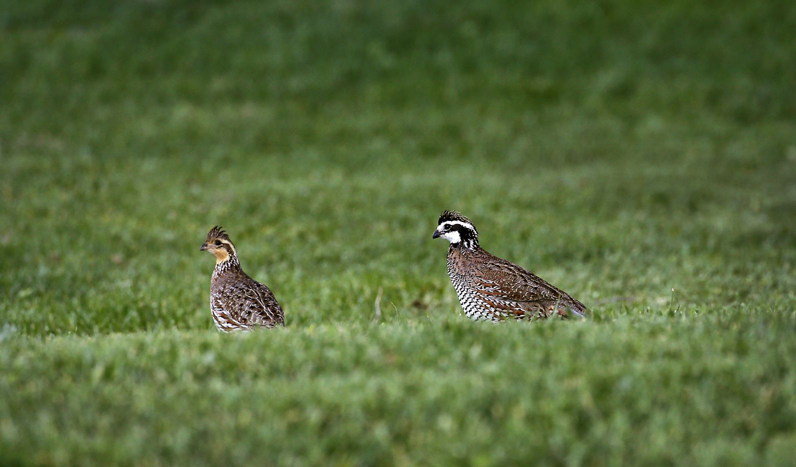 A pair of quail near the lodge.