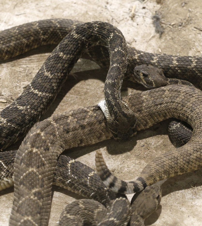 Rattlesnakes bite one another in the collection pit at Nolan County Coliseum. (Nathan Hunsinger/The Dallas Morning News)