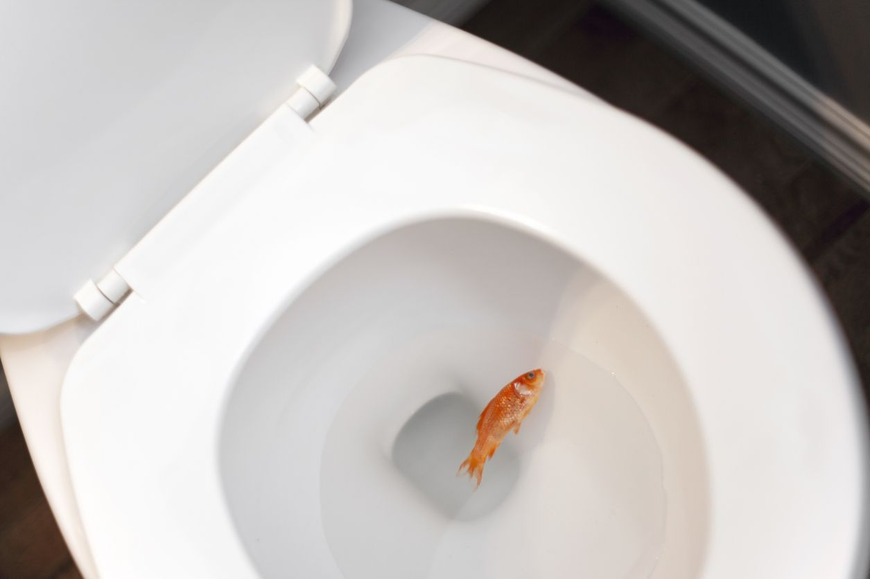 A dead gold fish in the toilet