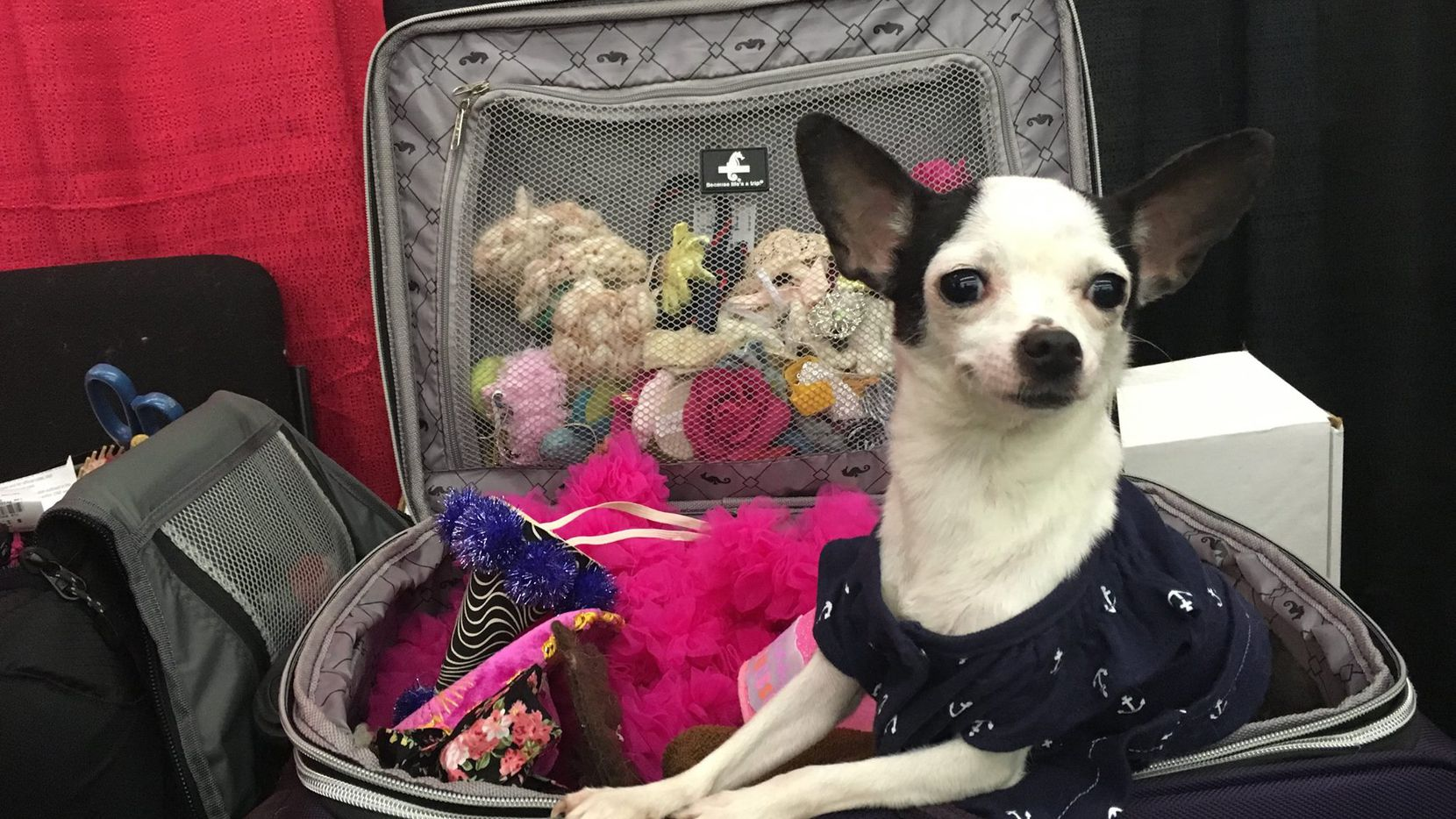 A vendor's dog took a break in a suitcase full of costumes at a photography booth during a previous Dallas Pet Expo.