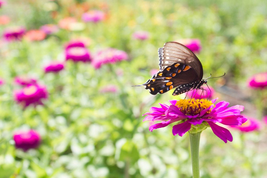 "A male spicebush swallowtail butterfly sits on a ""Giant Violet"" zinnia."