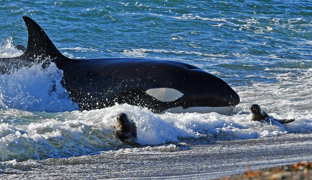 Una orca caza cachorros de lobos marinos en una playa de Punta Norte en la Península Valdés, Argentina, el martes 17 de abril de 2018