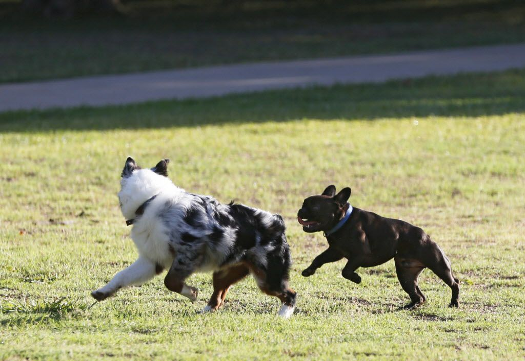 Dogs run unleashed at Reverchon Park in Dallas one July morning. Reverchon is one of the hot-spot parks where Dallas Animal Services is focusing its work.