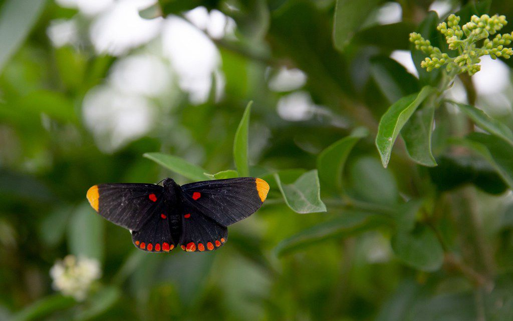 A red-bordered Pixie butterfly at the National Butterfly Center in Mission.