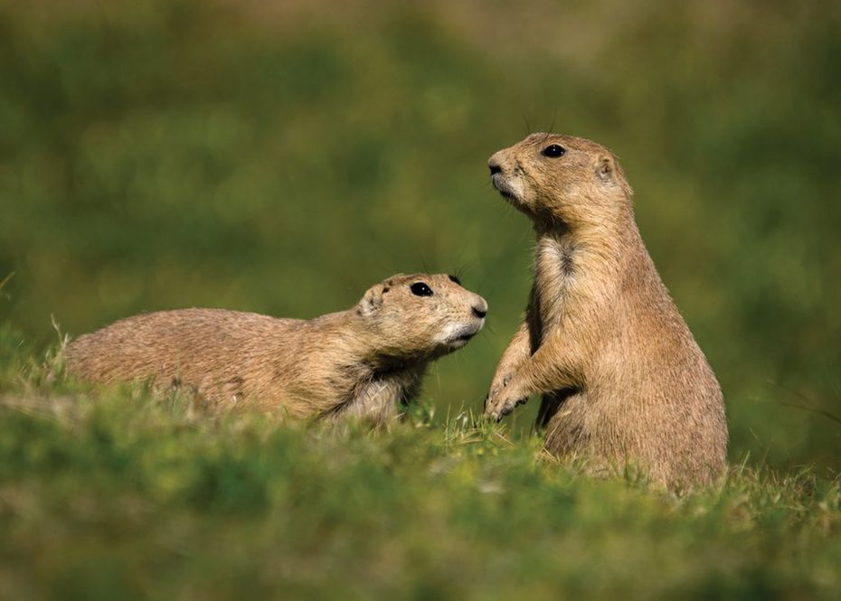 Kids are sure to enjoy Lubbocks' Prairie Dog Town, which pays homage to the little rodent that's a mainstay of the Great Plains.