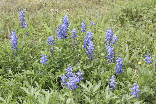 The original state flower of Texas, Lupinus subcarnosus, prefers sandy soils of East Texas and the Cross Timbers.