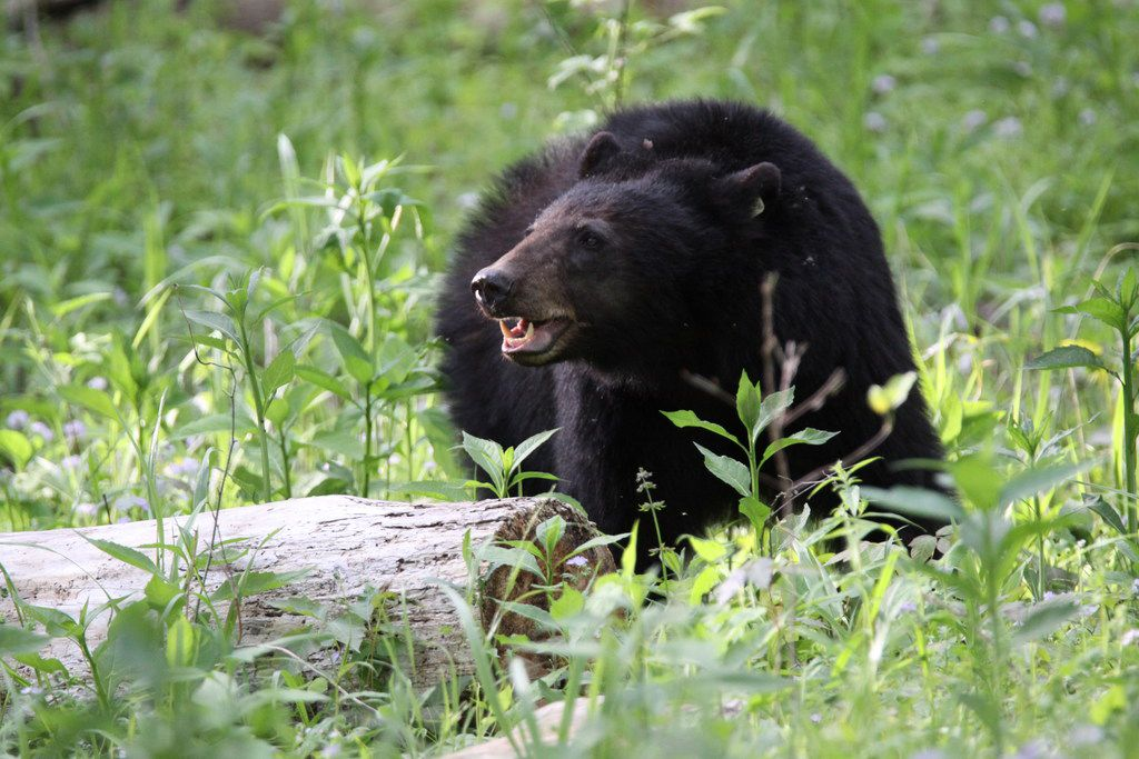 Black bear sightings are common in Great Smoky Mountains National Park.