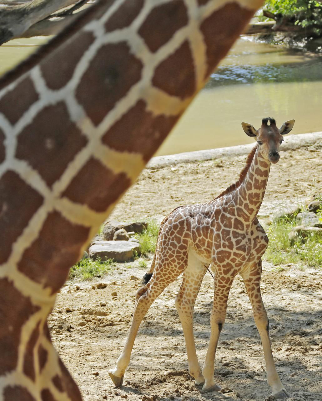 Kipenzi made her public debut at the Dallas Zoo on May 1.