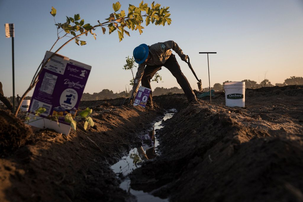 California Conservation Corps worker plants trees in Modesto, Calif., on June 29, 2018. A study published on Nov. 14 found that better management of forests, grasslands and soils in the United States could offset as much as 21 percent of the country's annual greenhouse gas emissions.