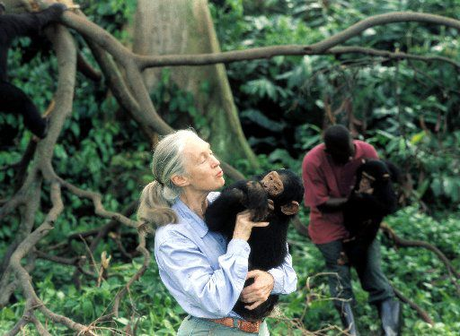 Jane Goodall with an orphaned chimpanzee in an undated photo.