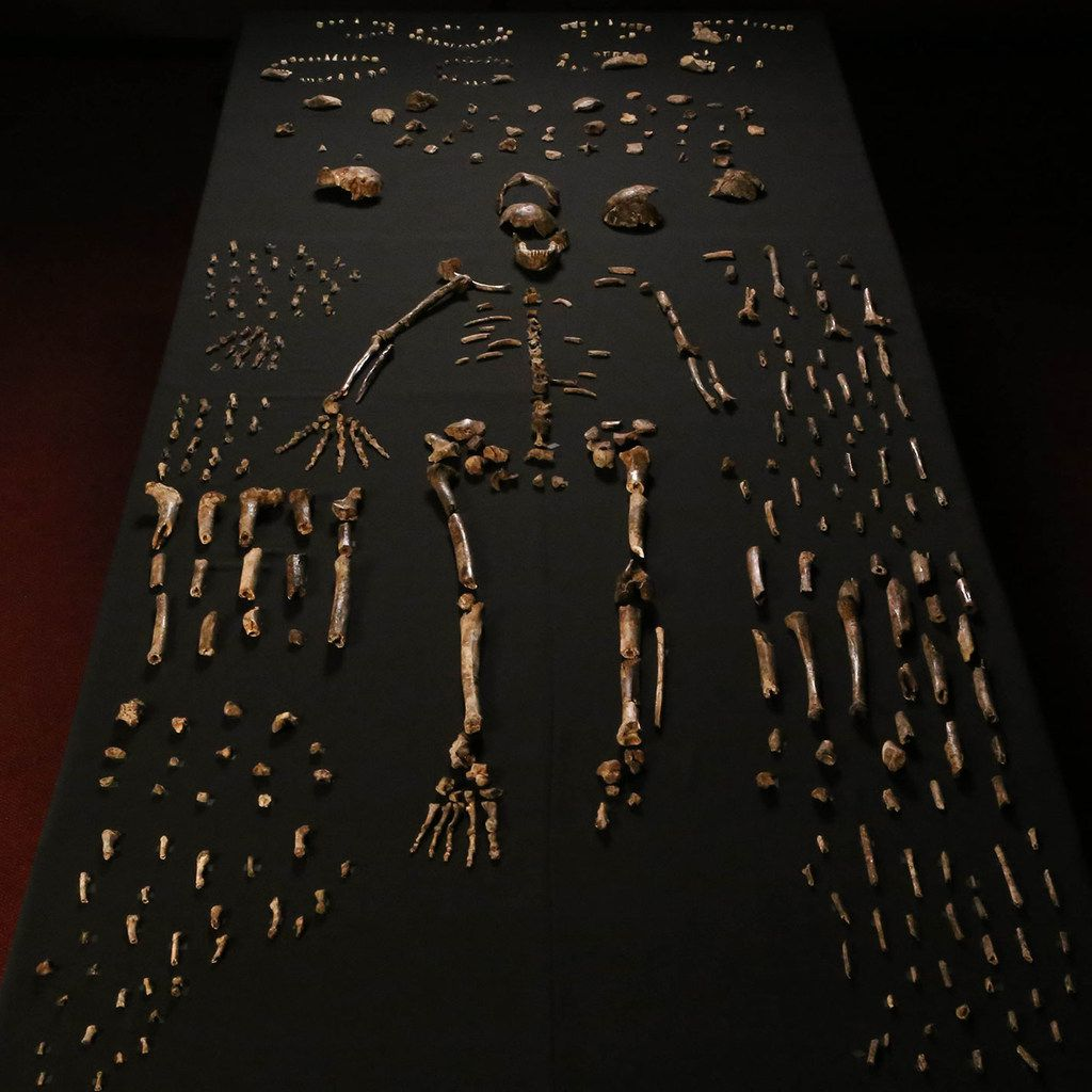 Bones laid out in 2015 of Homo naledi individuals.