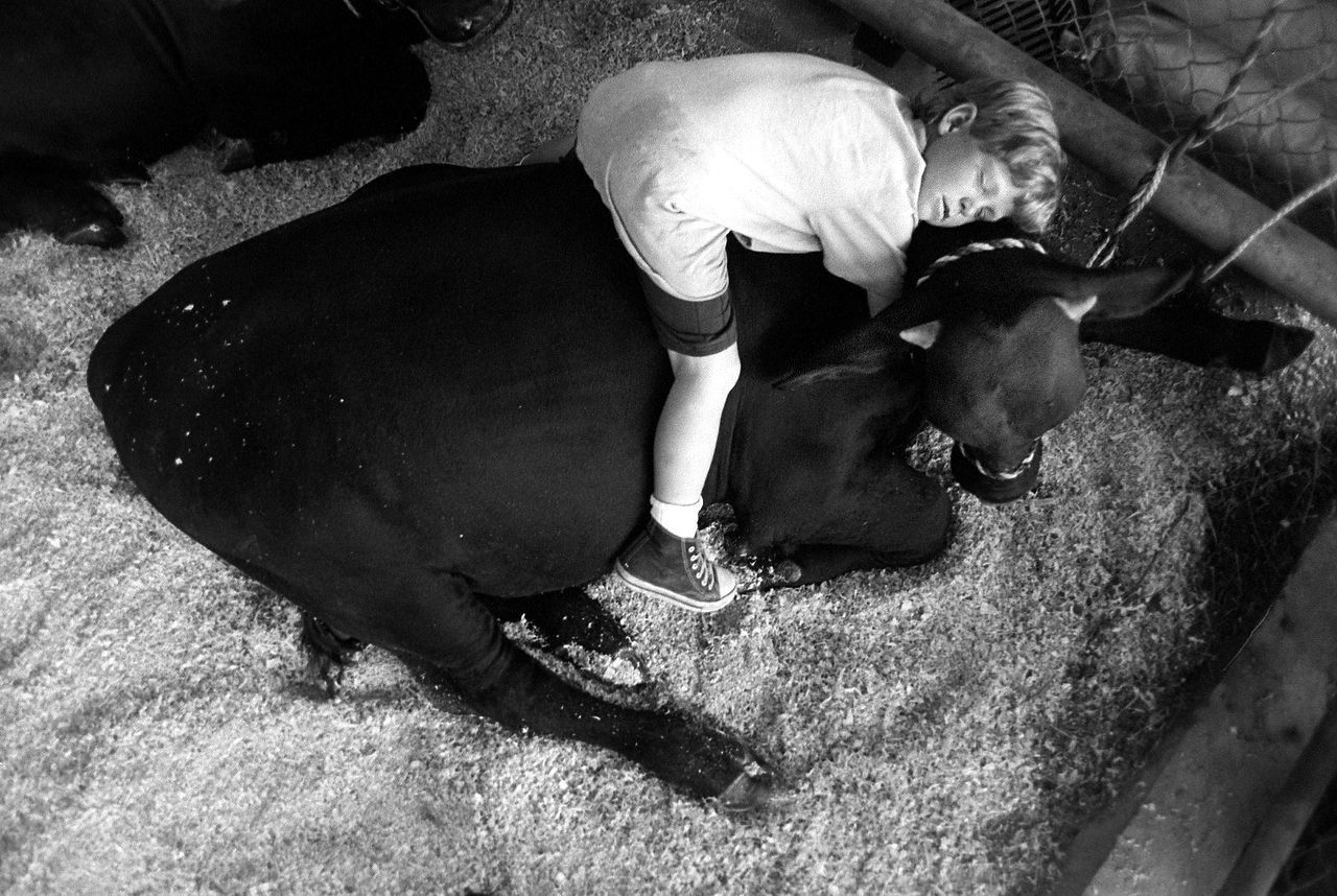 Michael Niehuus, 7, rests on top of Slik, a Santa Gertrudis bull, in 1994. Michael and his family left at 5 a. m. from their home at the Haywire Ranch in New Ulm to show their Santa Gertrudis cattle at the State Fair of Texas.