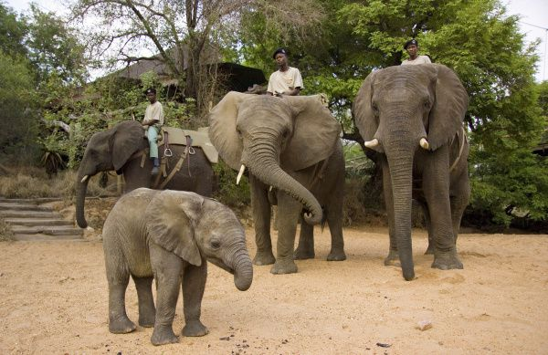 Camp Jabulani offers sunrise and sunset elephant-back safaris, using its own trained herd known for gentle temperaments.