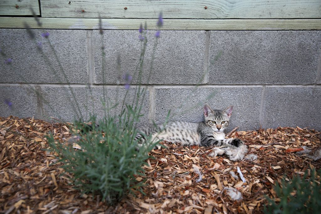 A kitten lounges by lavender at Savannah's Meadow