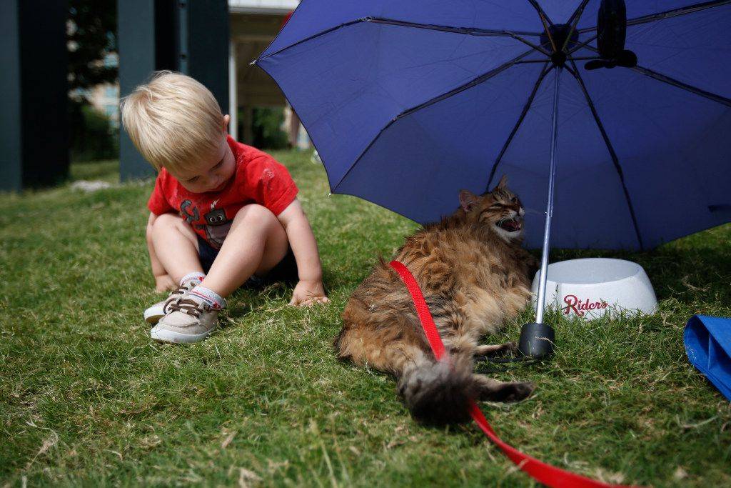 """Henry Womble, 2, peeks at cat Robidas during """"Take Meow to the Ballgame,"""" a day where cat owners are encouraged to bring their cats to the ballpark at Dr Pepper Ballpark in Frisco, Texas, Sunday, May 21, 2017."""