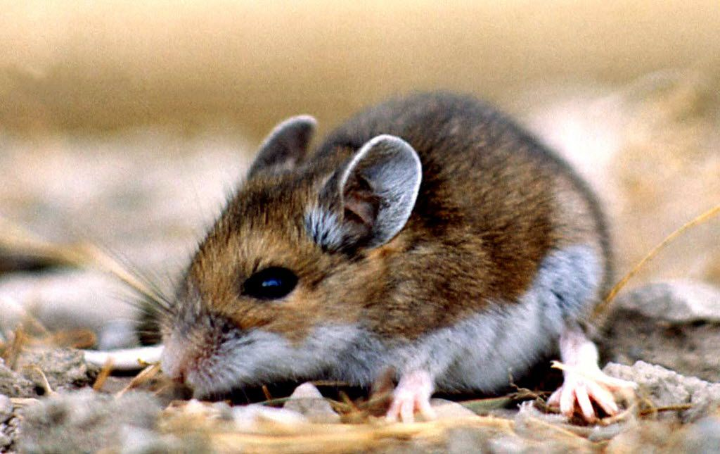 This undated photo provided by the National Park Service, a deer mouse (Peromyscus maniculatus). The deer mouse helps spread hantavirus to humans.