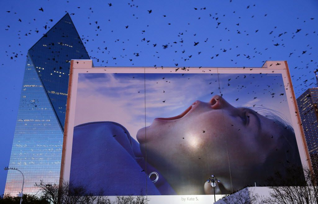 Grackles took flight near a large advertisement photo on the side of a building at Griffin Street and Ross Avenue in downtown Dallas on Feb. 15, 2016.  (Tom Fox/The Dallas Morning News)