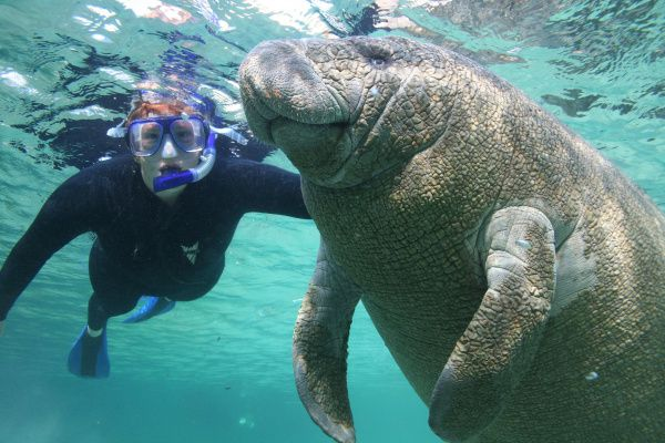 A woman snorkeler swims with a manatee in the Crystal River National Wildlife Refuge in Crystal River, Florida.