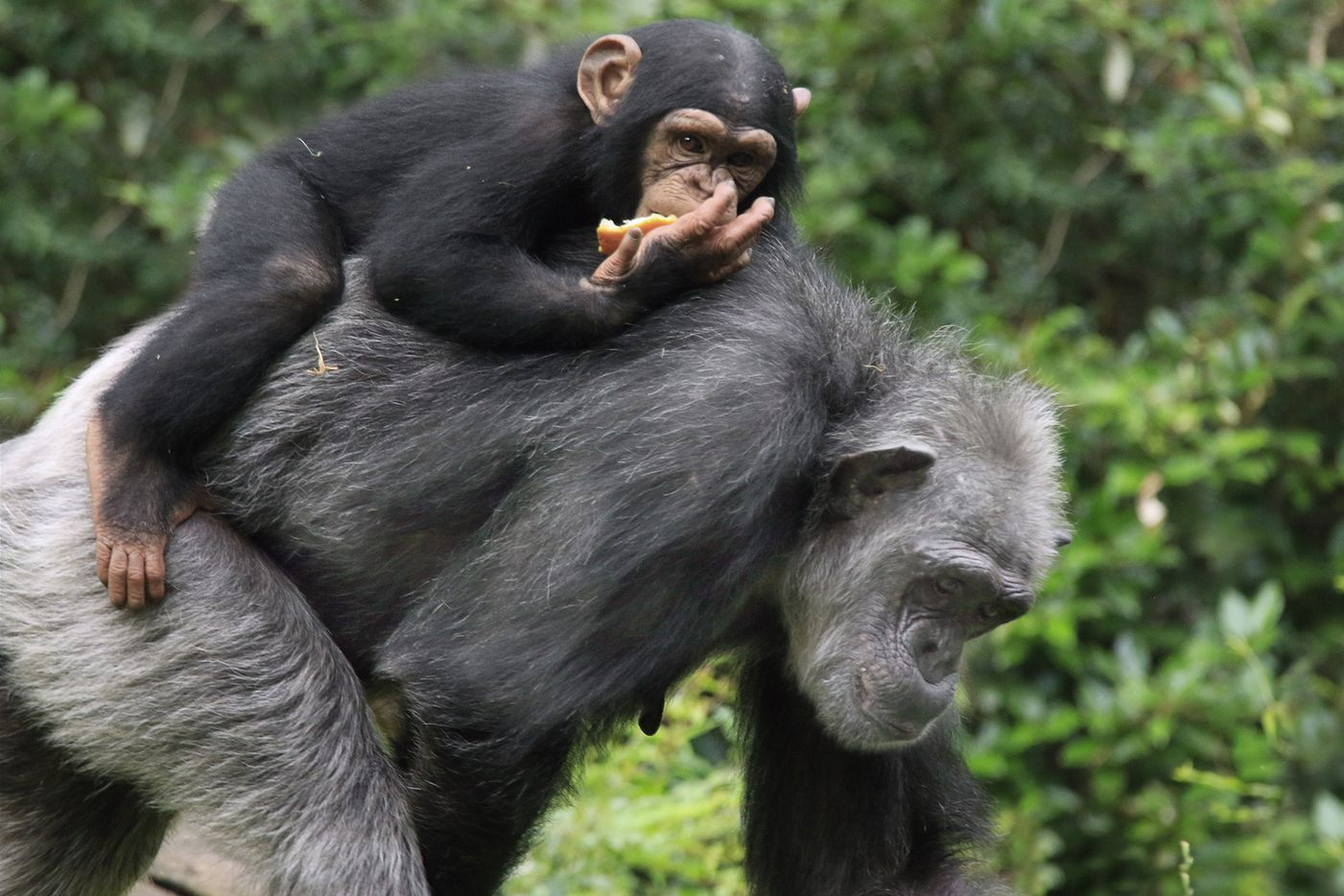 Ramona carries Mshindi on her back at the Dallas Zoo. The young chimp is 4-years-old.