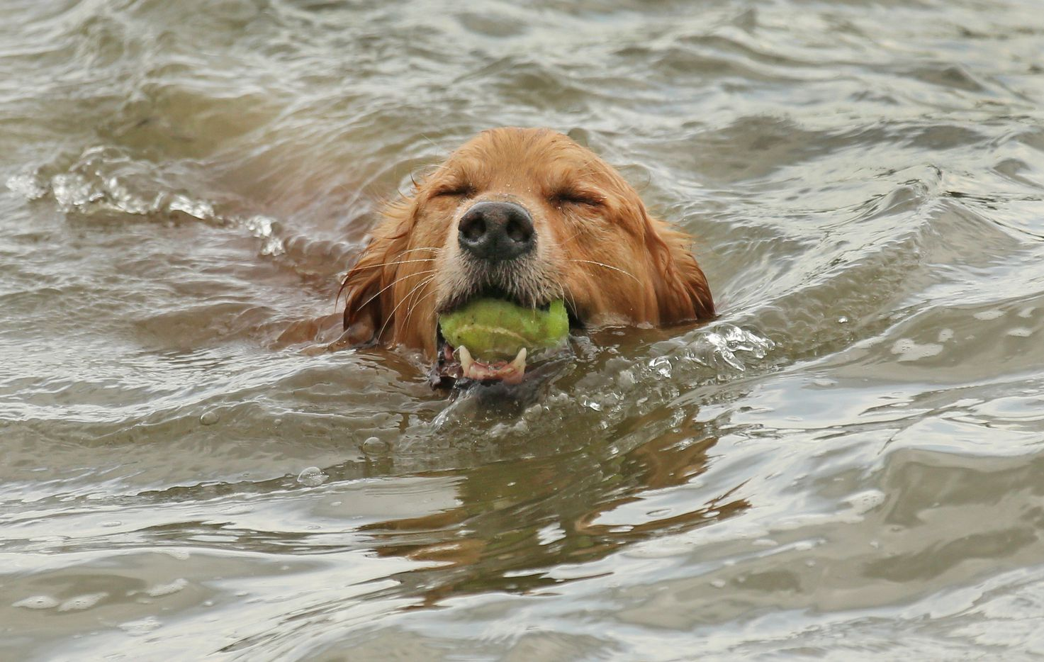 """Briz"" enjoys a game of fetch in the lake at White Rock Lake dog park in Dallas, photographed on Saturday, April 1, 2017."