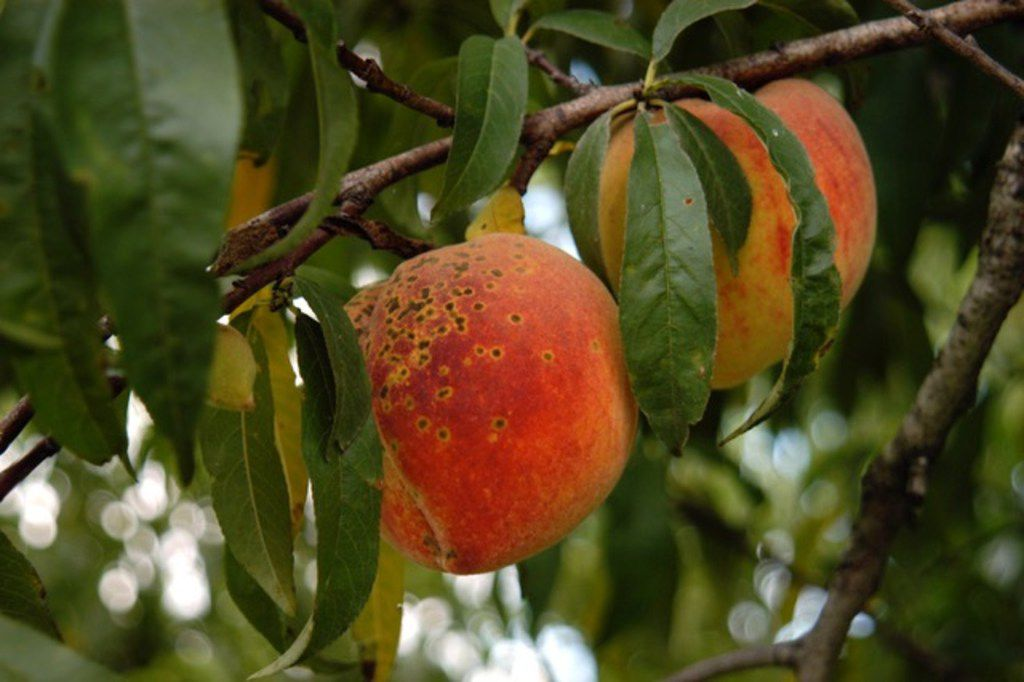 Peach scab is a fungal disease on peaches.
