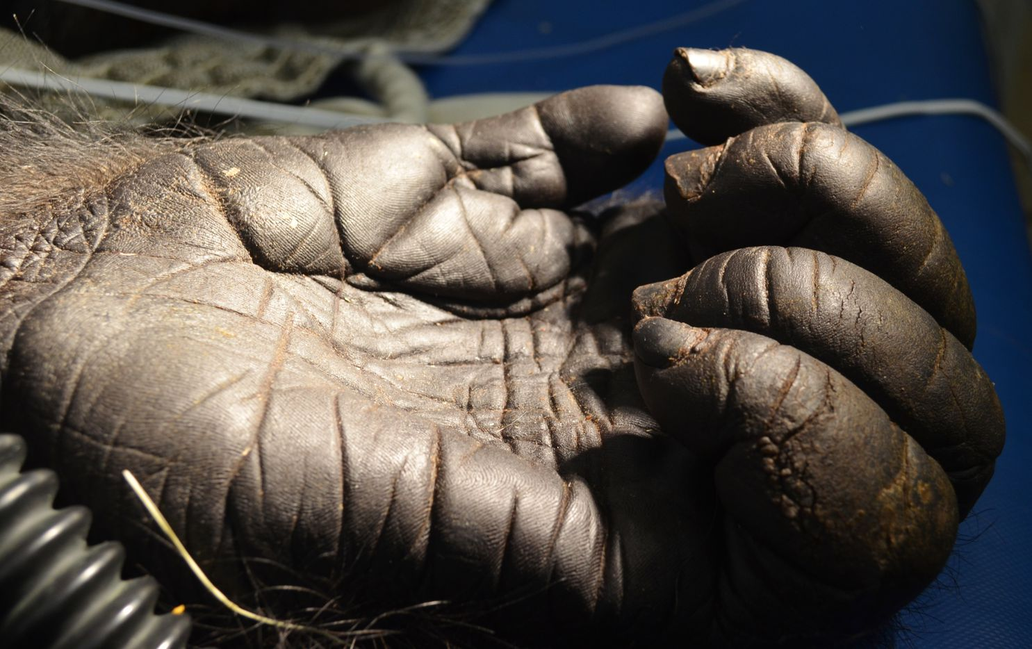 A close-up of Subira's hand. The gorilla was treated at the A.H. Meadows Animal Care Facility beginning in March 2015.