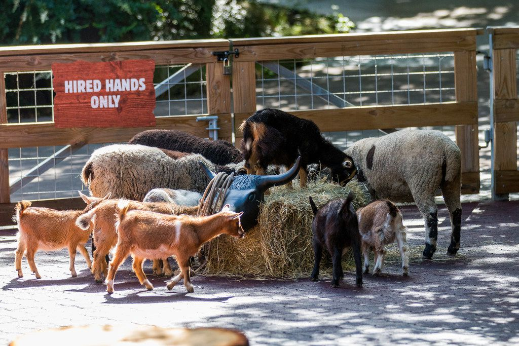 Fort Worth Toyota >> Brush Goats Pet Pigs And More At The Fort Worth Zoo S