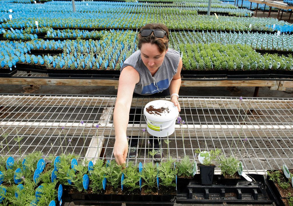 Horticulturist Felicia English sprinkles rove beetles on lavender at Blue Label Herbs in Wylie (Nathan Hunsinger/The Dallas Morning News)