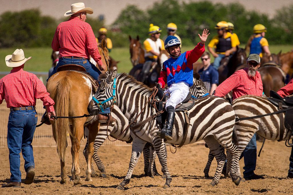 """Jockey Daniel Benavides waves to the crowd after winning the zebra race during """"Extreme Racing"""" at Lone Star Park on Saturday, April 28, 2018, in Grand Prairie, Texas. Ridden by Lone Star Park jockeys, camels, ostriches and zebras took to the track between horse races, with each animal paired with a local non-profit charity. (Smiley N. Pool/The Dallas Morning News)"""