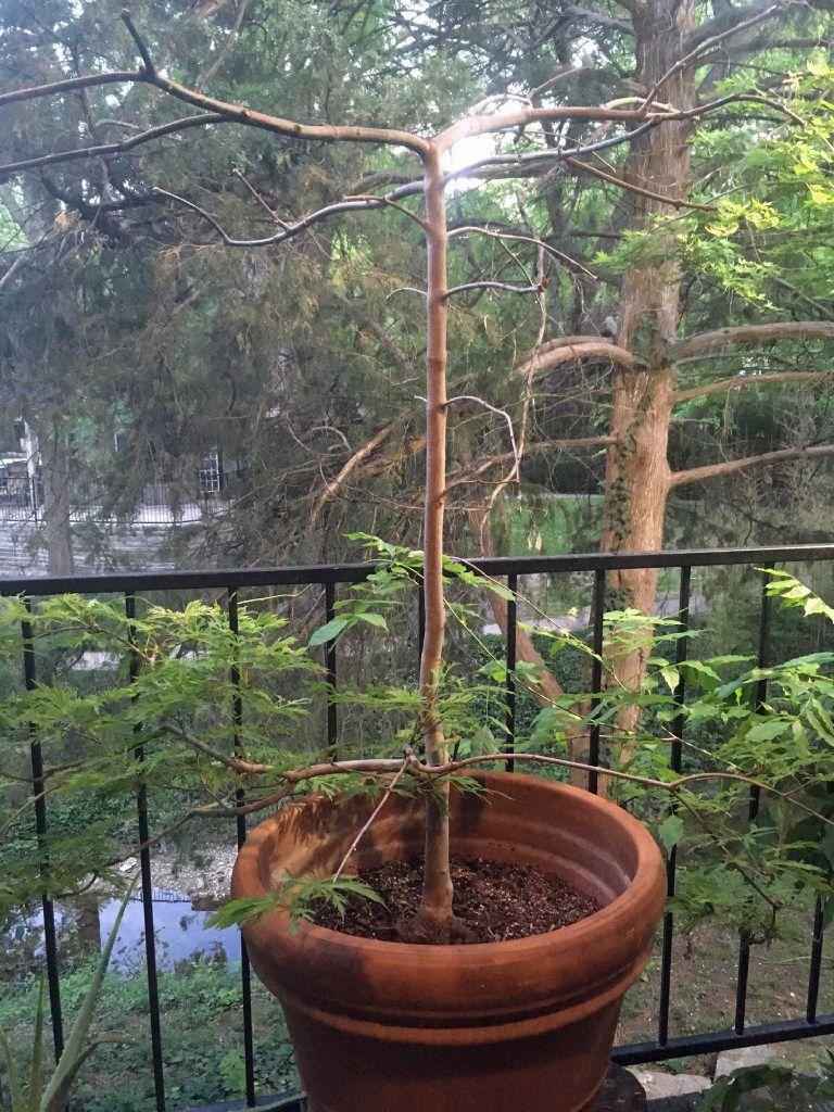 """Green Cascade"" Japanese maple"