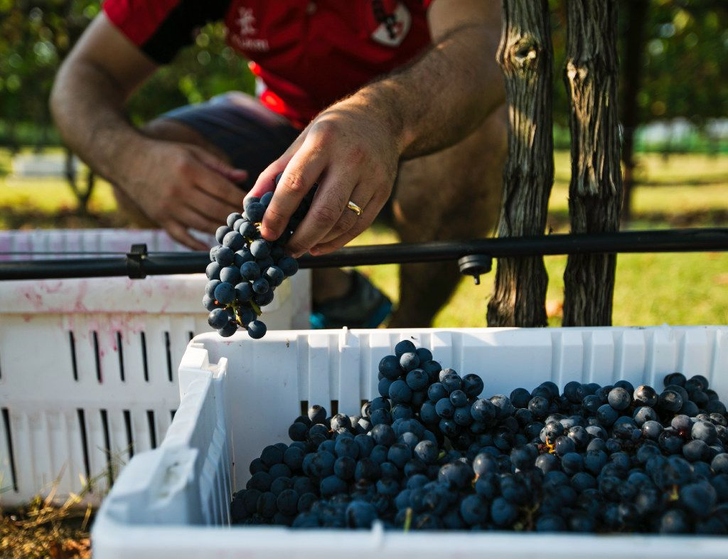 After the grapes are picked, they are put into baskets and brought to the sorting table at the Eden Hill Vineyards in Celina.