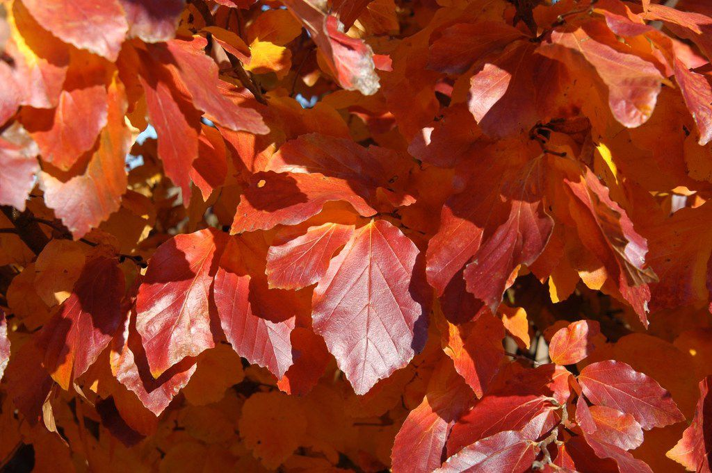 Leaves of the Persian ironwood (Parrotia persica)