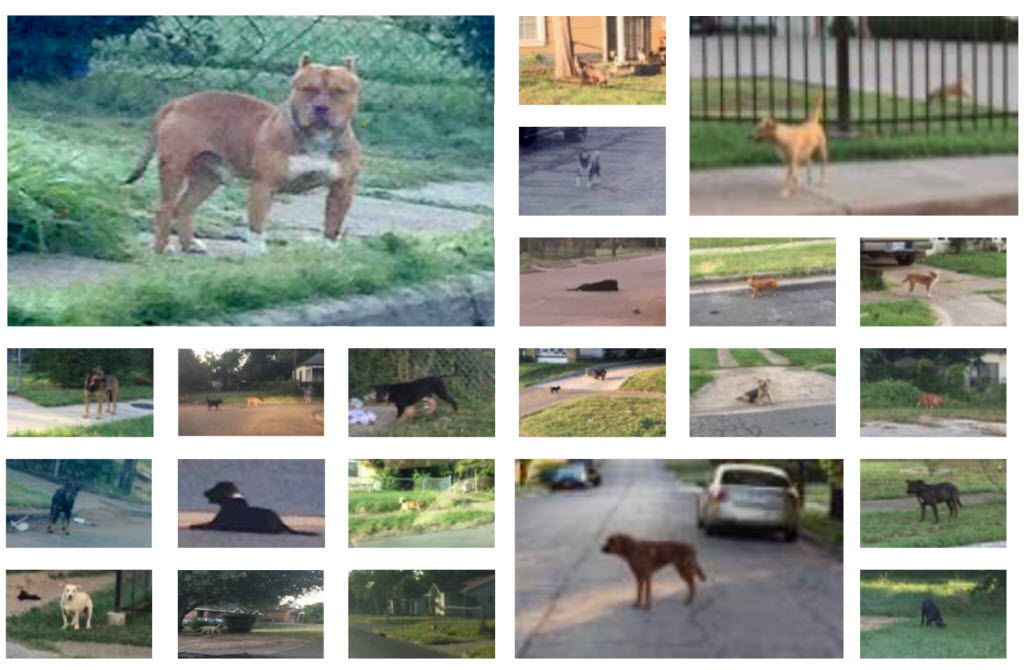 """A group of photos in a Boston Consulting Group report shows numerous loose dogs that the team observed while conducting a """"census"""" of loose dogs on the streets of Dallas."""