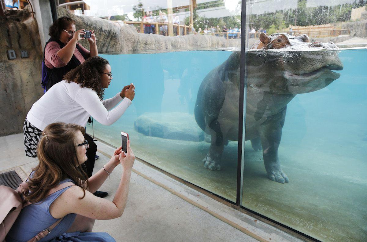 Visitantes toman fotos al nuevo habitat de los hipopótamos del Dallas Zoo que abrió en el 2016. (Vernon Bryant/The Dallas Morning News)